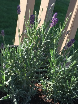 Lavender - I'm looking into how to harvest/make my own essential oils!